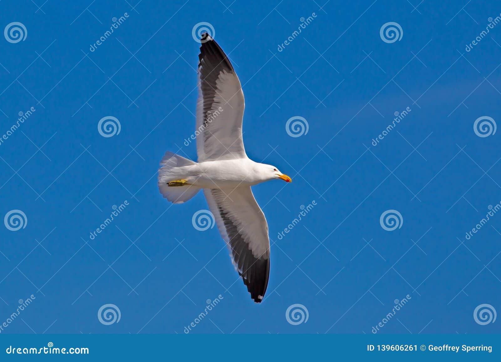 Flying Kelp Seagull in clear sky