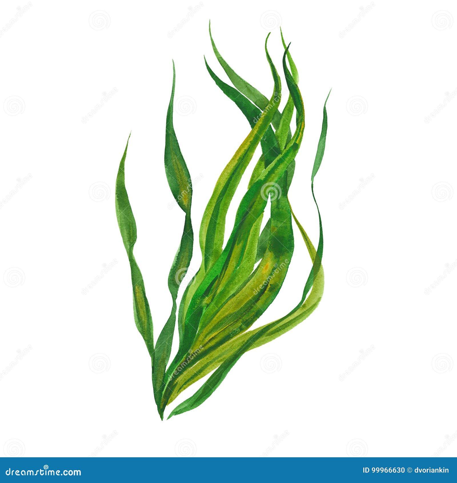 Kelp Watercolor φύκι