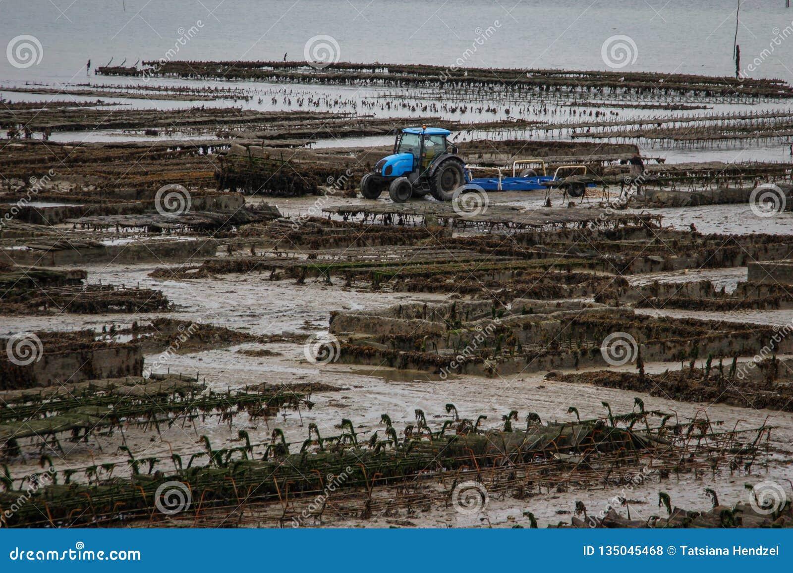 Kelst海的岸的一个海洋牡蛎农场和沿行的蓝色拖拉机工作用牡蛎在诺曼底,法国