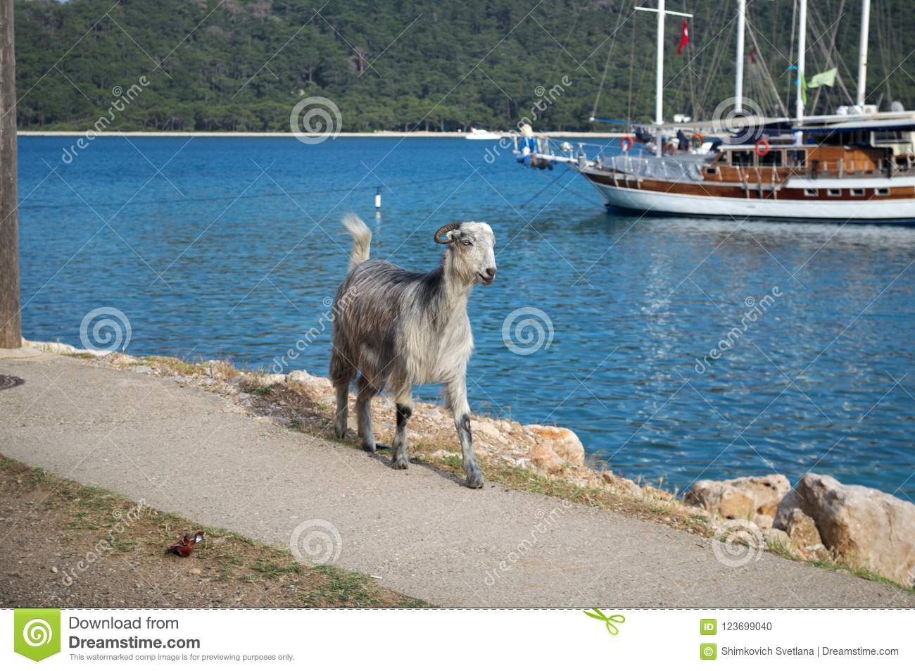 KEMER, TURKEY - MAY 07, 2018: the horned goat is on the coastal path