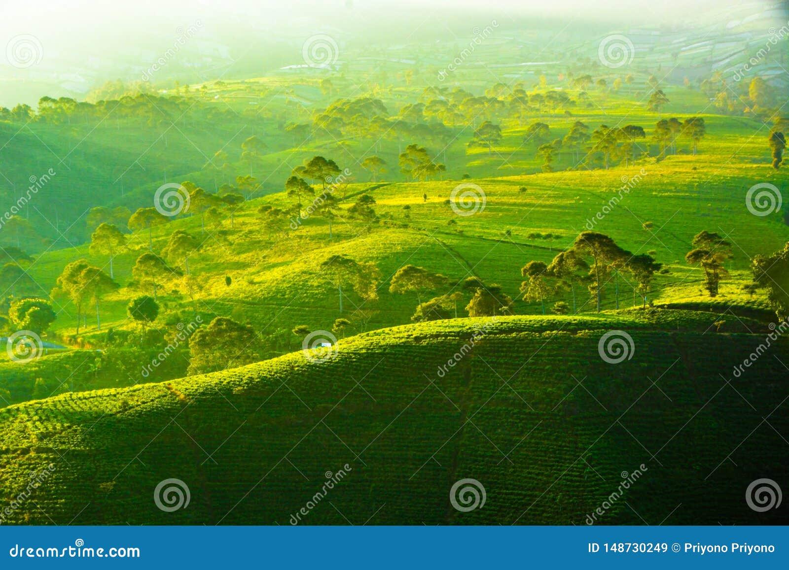 Kemuning Tea Plantation Karanganyar Tawangmangu, solo, indonesia