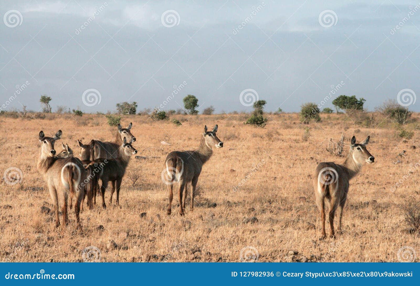 Kenja, Tsavo wschód - antylopa w ich rezerwie