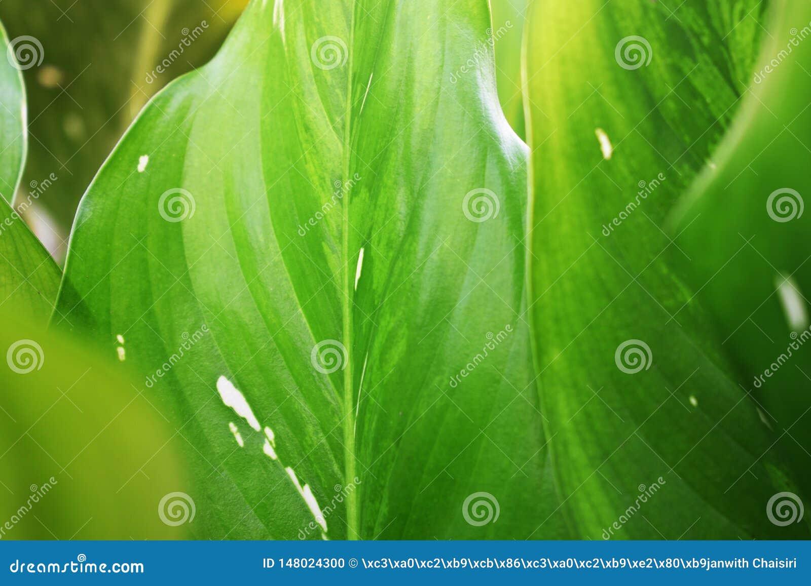 Kenmerken van bladeren, lichtgroen met vlekken dicht