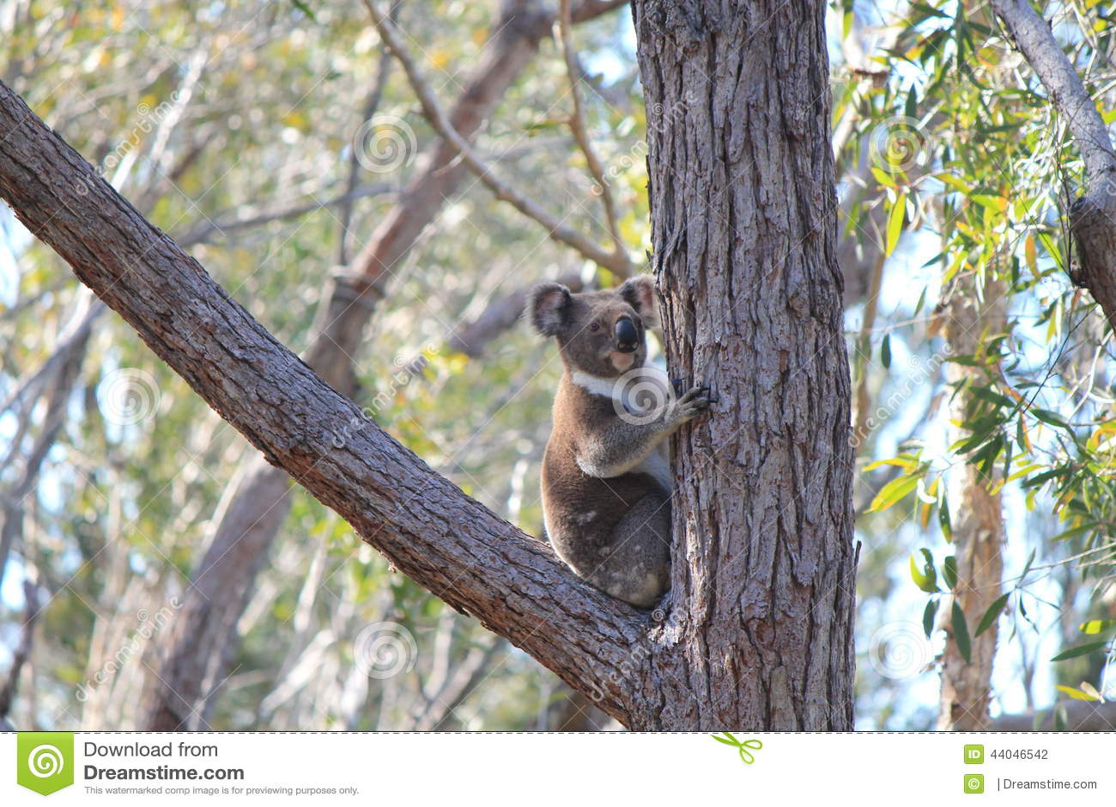 Kenny Koala Stradbroke ö Qld