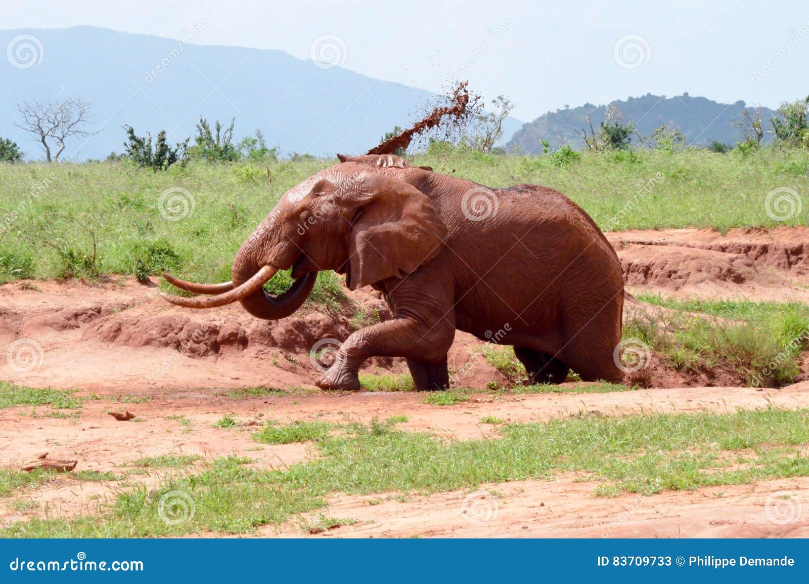 Kenya`s Red Elephant Stock Photo