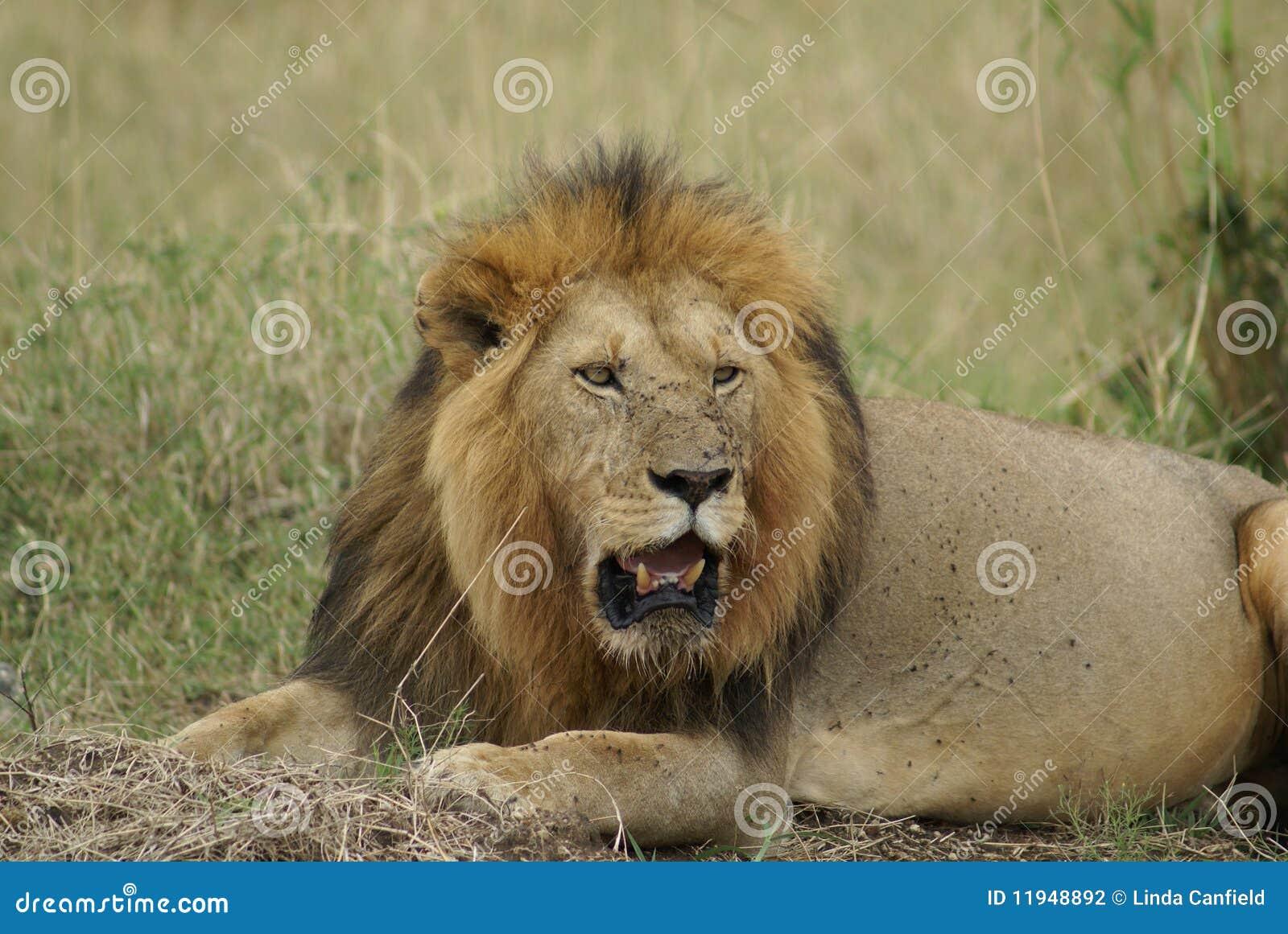 Kenyan Lion Stock Photography - Image  11948892