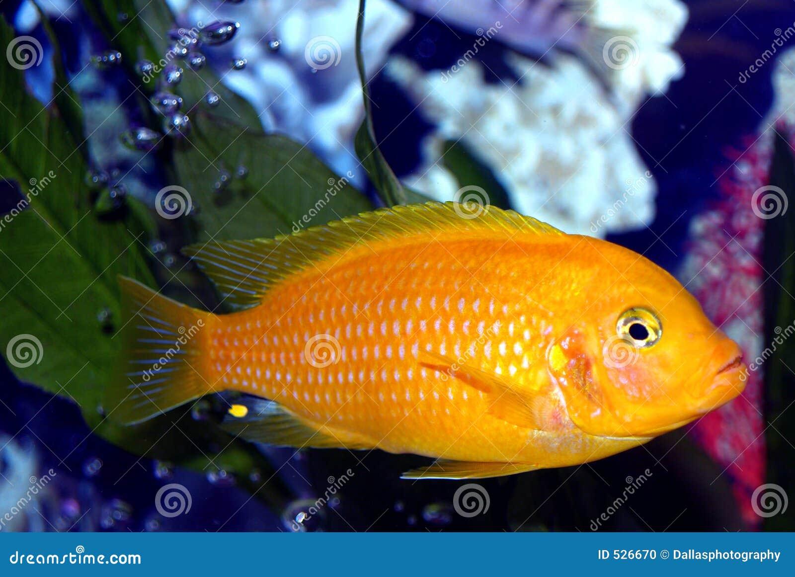 Kenyi masculino, peixe tropical