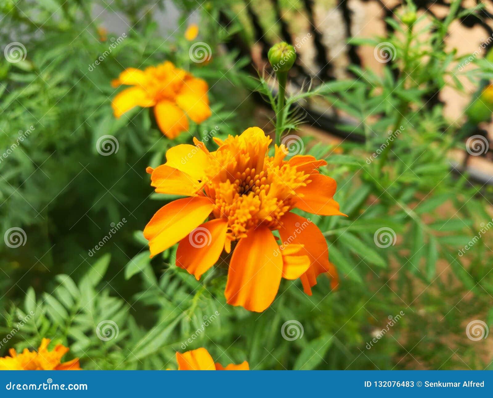 Beautiful Dark Yellow Flower Tagetes