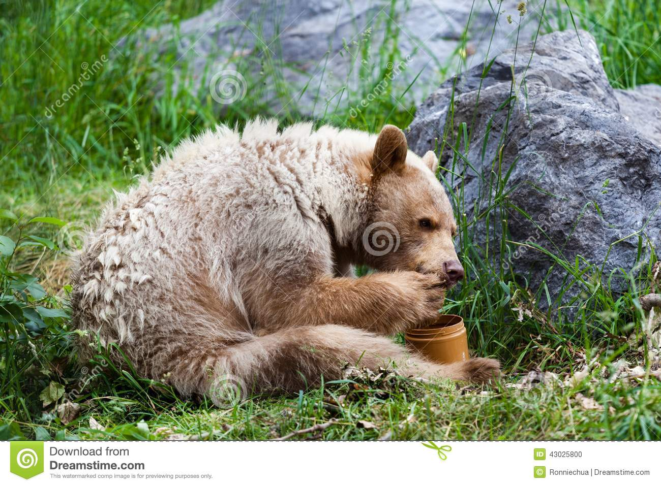 hungry white Kermode or Spirit Bear licks honey from its paw off a ...