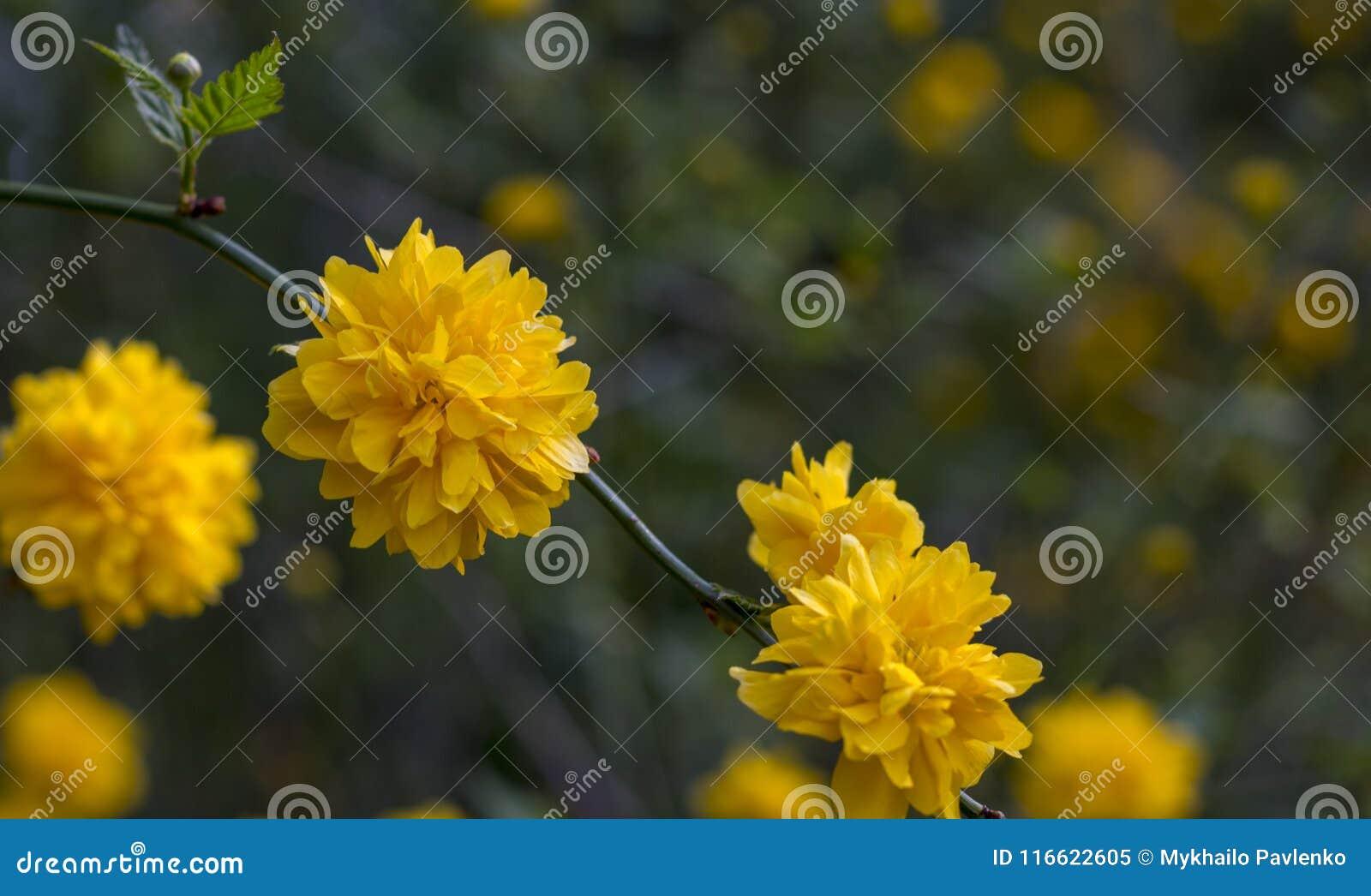 Kerria Japonica A Beautiful Yellow Flowering Shrub Stock Image