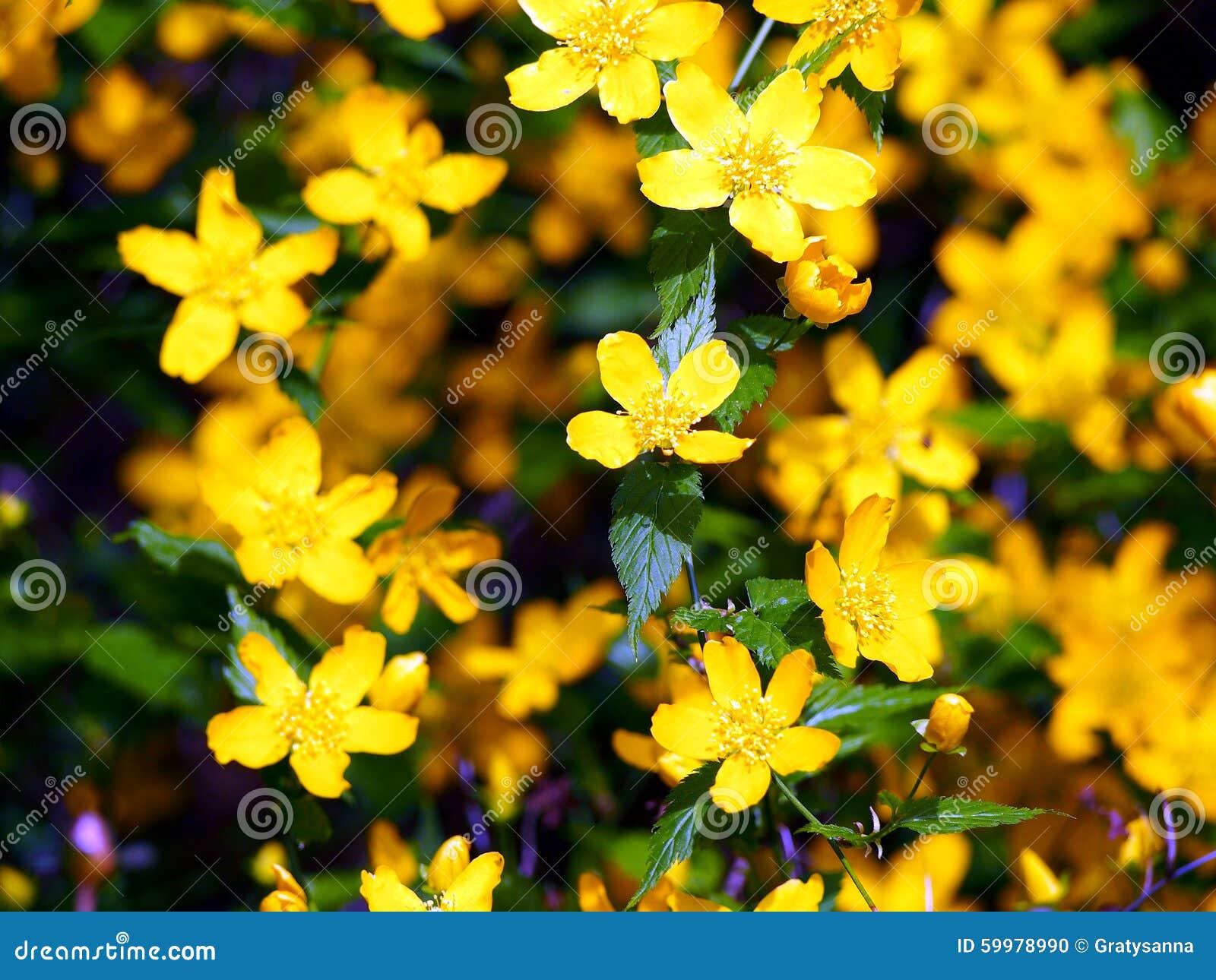 kerria japonica gelbe fr hlingsblumen stockfoto bild 59978990. Black Bedroom Furniture Sets. Home Design Ideas