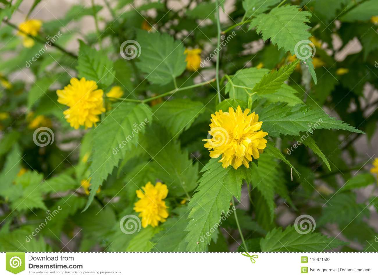 Kerria japonica pleniflora cultivar in bloom yellow flowers on download kerria japonica pleniflora cultivar in bloom yellow flowers on branches on shrub stock photo mightylinksfo