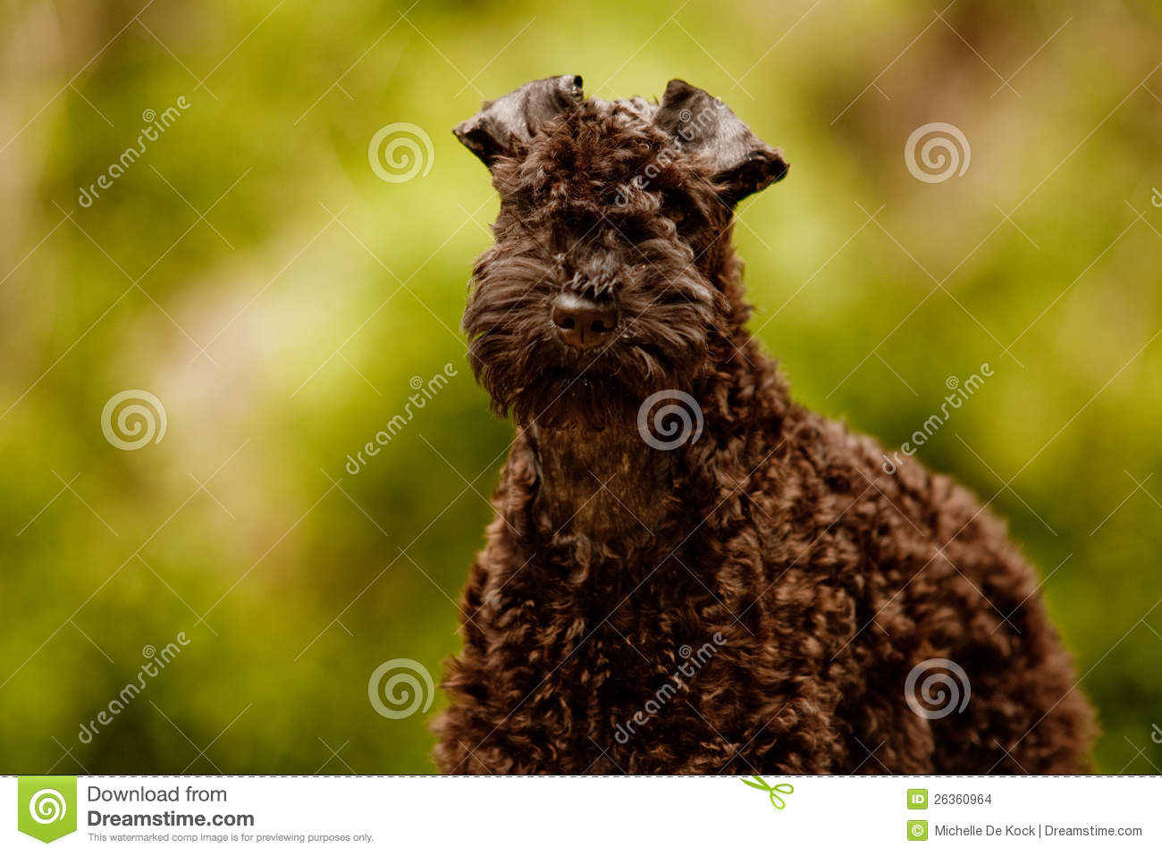 Download Kerry-Blauterrierwelpe stockfoto. Bild von tier, blau - 26360964