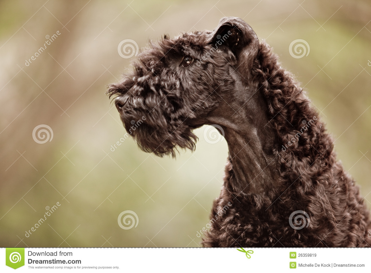 Kerry Blue Terrier Puppy Profile Stock Image - Image of coat, female