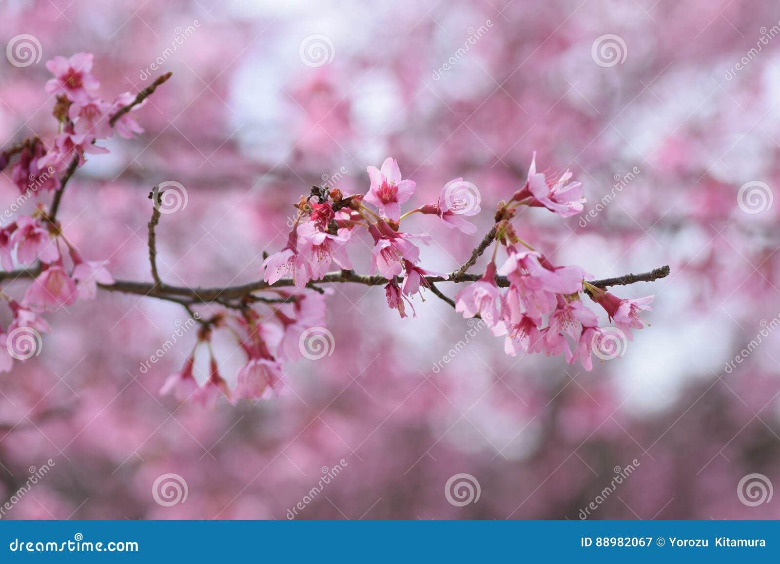 Kers bloosoms in volledige bloei/Maart-landschap in Japan