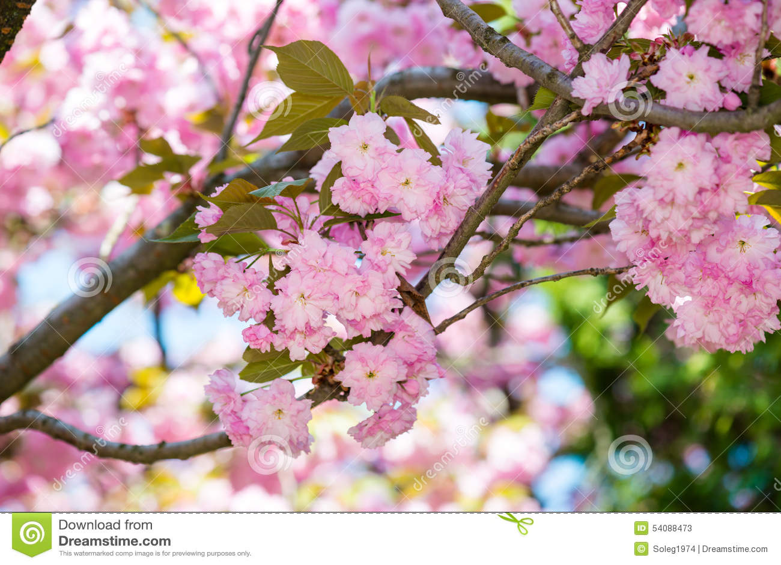 Kersenbloem, bloesem bij de lente