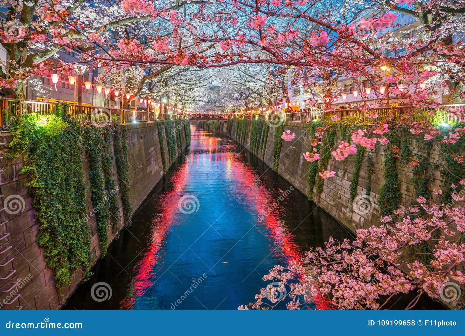 Kersenbloesem bij Meguro-Kanaal in Tokyo, Japan