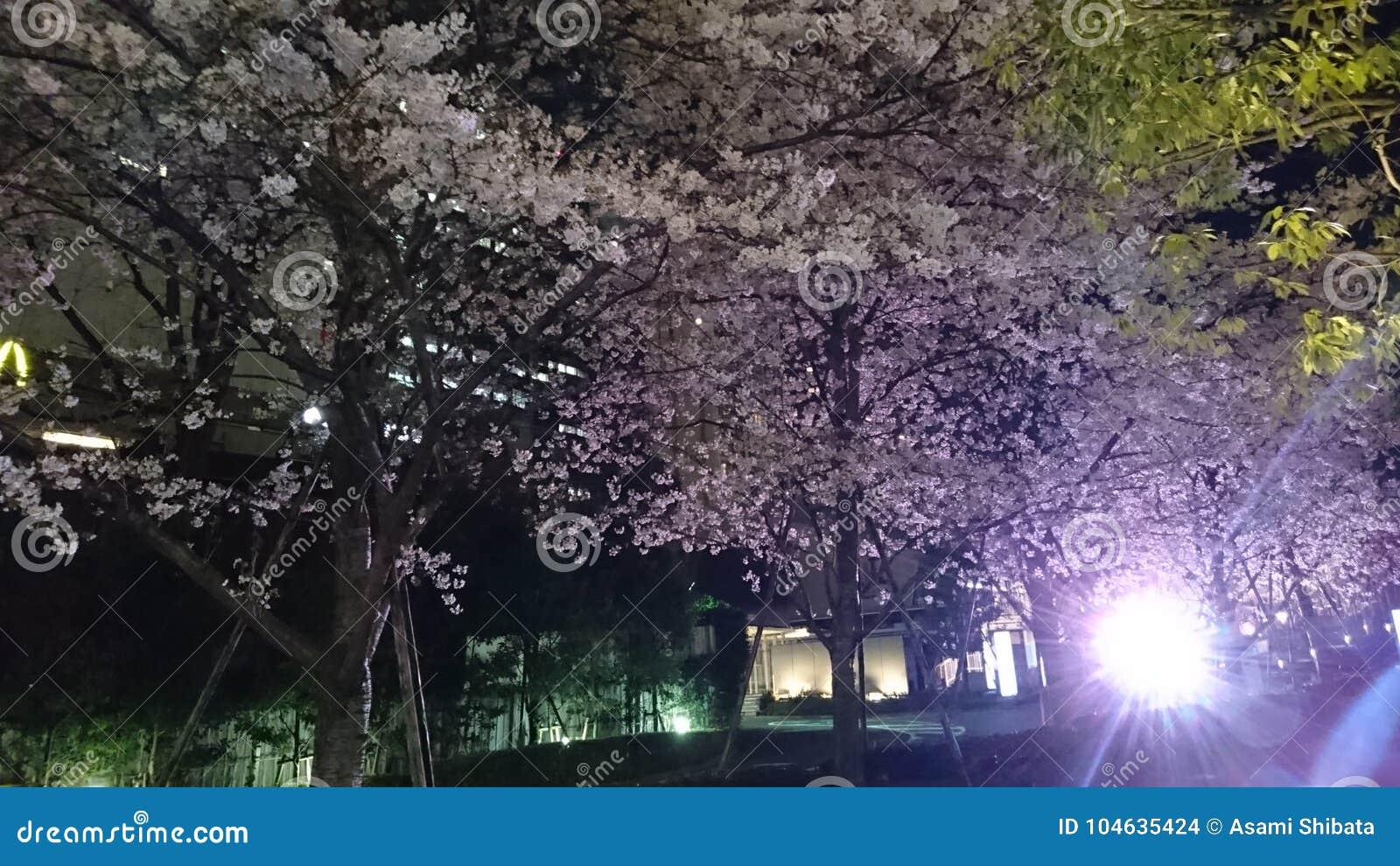 Download Kersenbloesem bij nacht stock foto. Afbeelding bestaande uit tokyo - 104635424