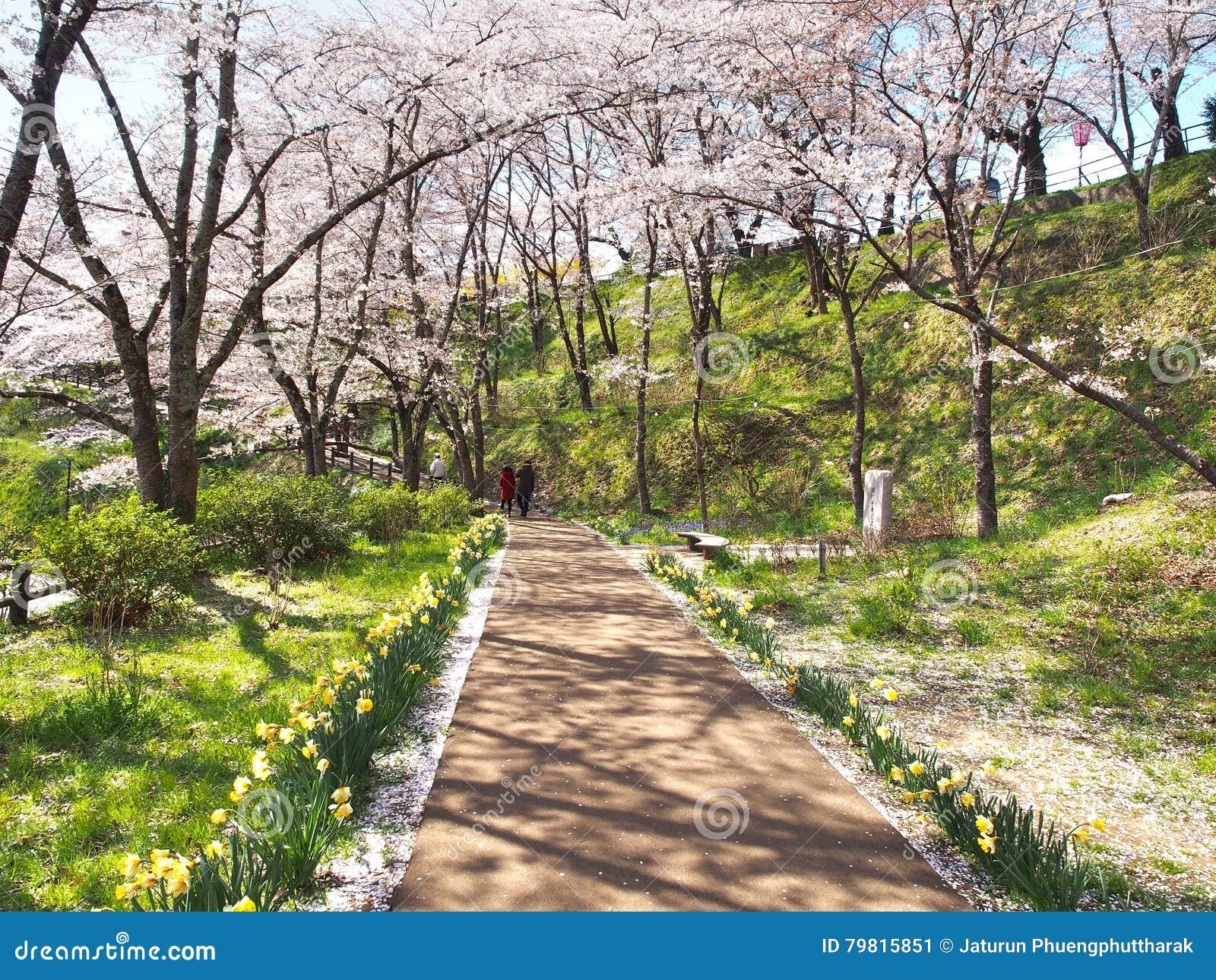 Kersenbloesem in het Park van Funaoka Joshi in Miyagi-prefectuur, Japan