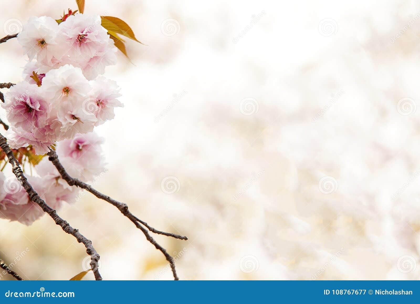 Kersenbloesem, roze bloemen in het bloeien met aardige achtergrond