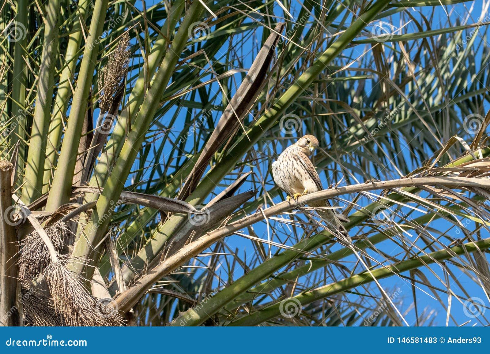 Kestrel bird of prey