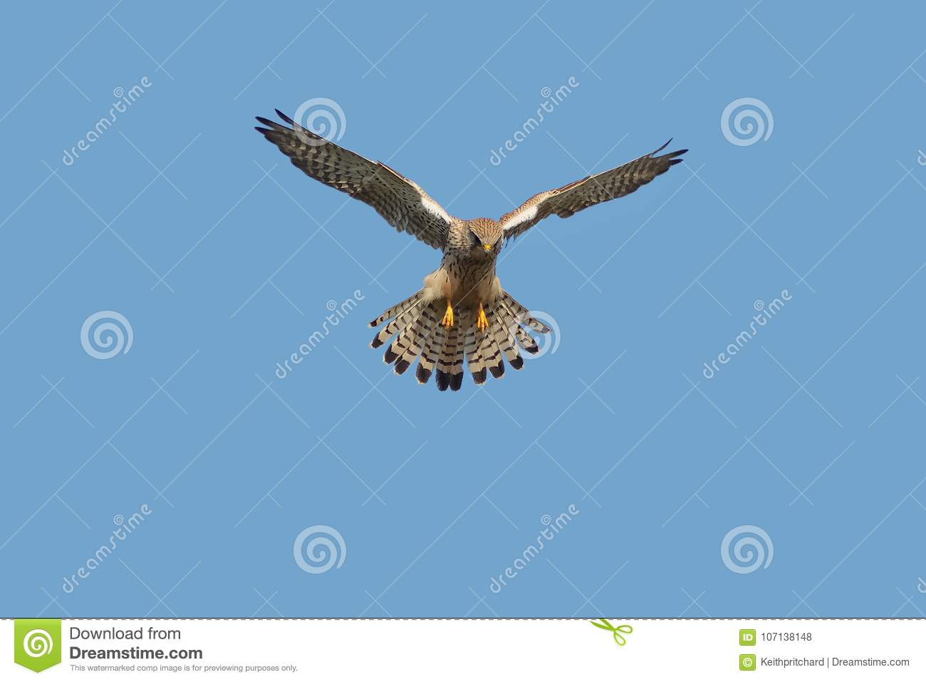 A Kestrel or Common Kestrel hovering in flight.