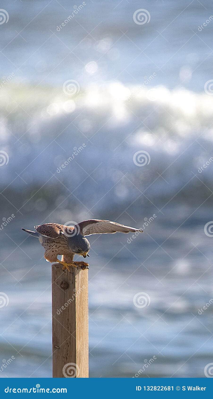 Kestrel (Falco tinnunculus) wings spread, feeding by the sea.