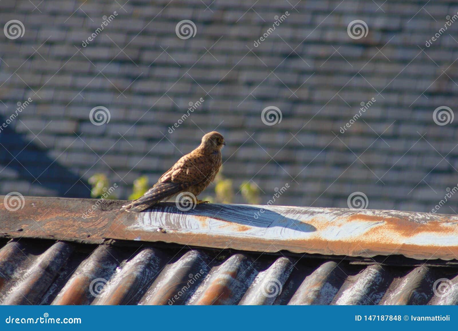 Kestrel on a rooftop. South England, UK