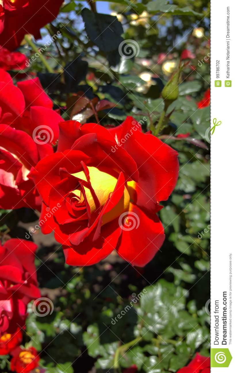 Ketchup and mustard red with yellow floribunda rose stock photo ketchup and mustard red with yellow floribunda rose flowering bush in rose garden a rose is a woody perennial flowering plant of the genus rosa mightylinksfo