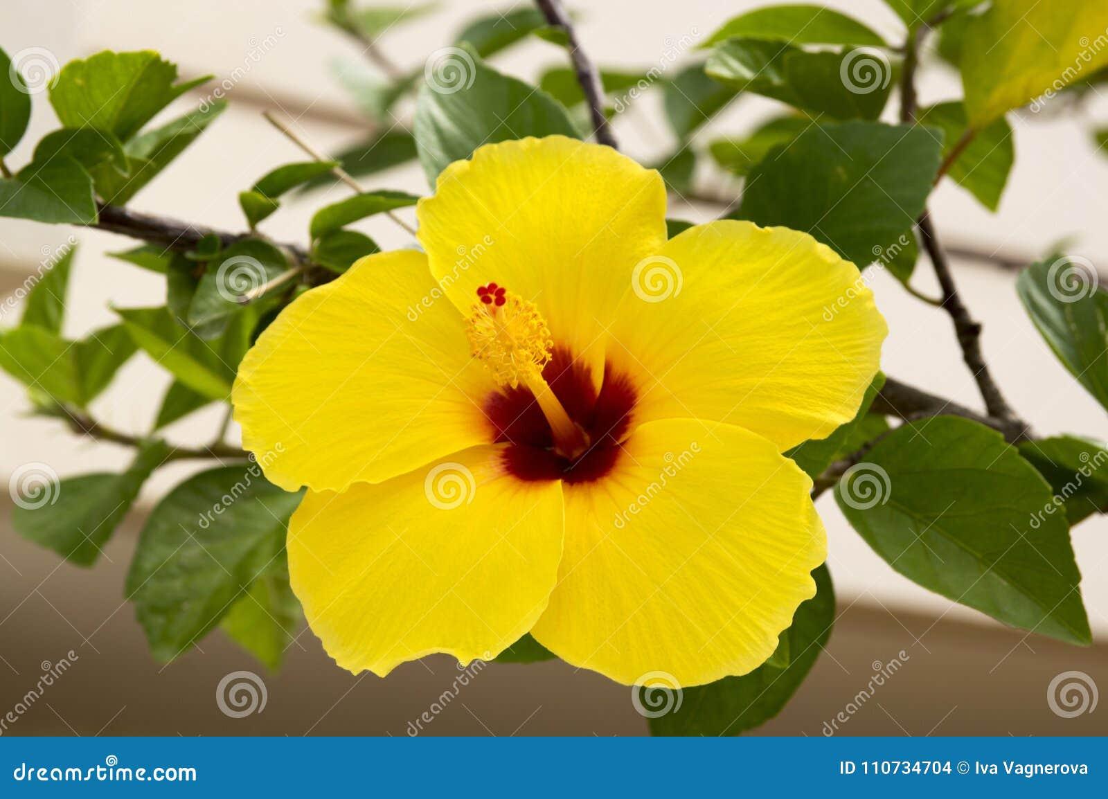 Ketmie Rosa Sinensis Arbuste Fleurissant De Ketmie Chinoise Fleur