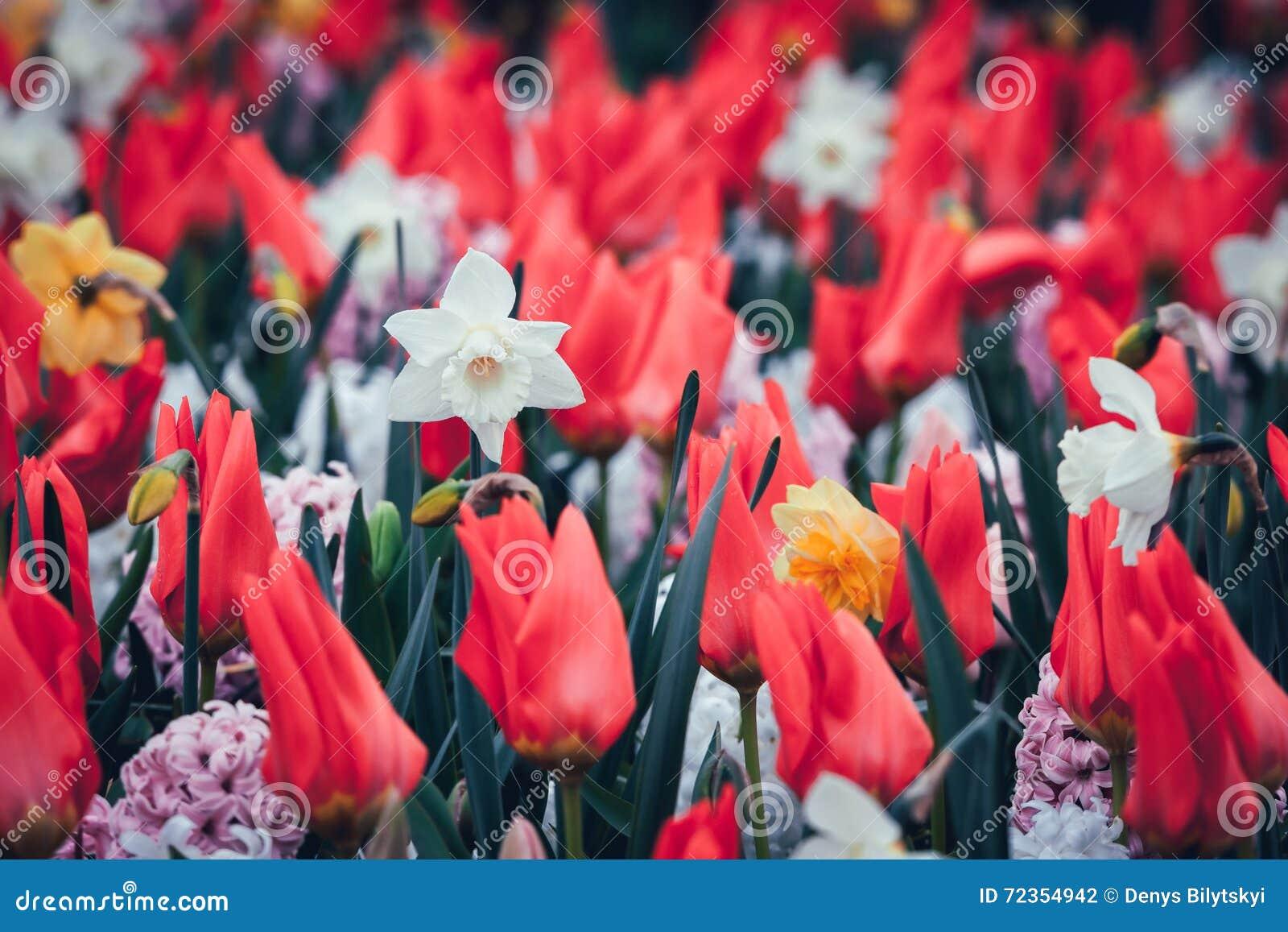 美丽的黄水仙和郁金香 在著名Keukenhof的开花的花