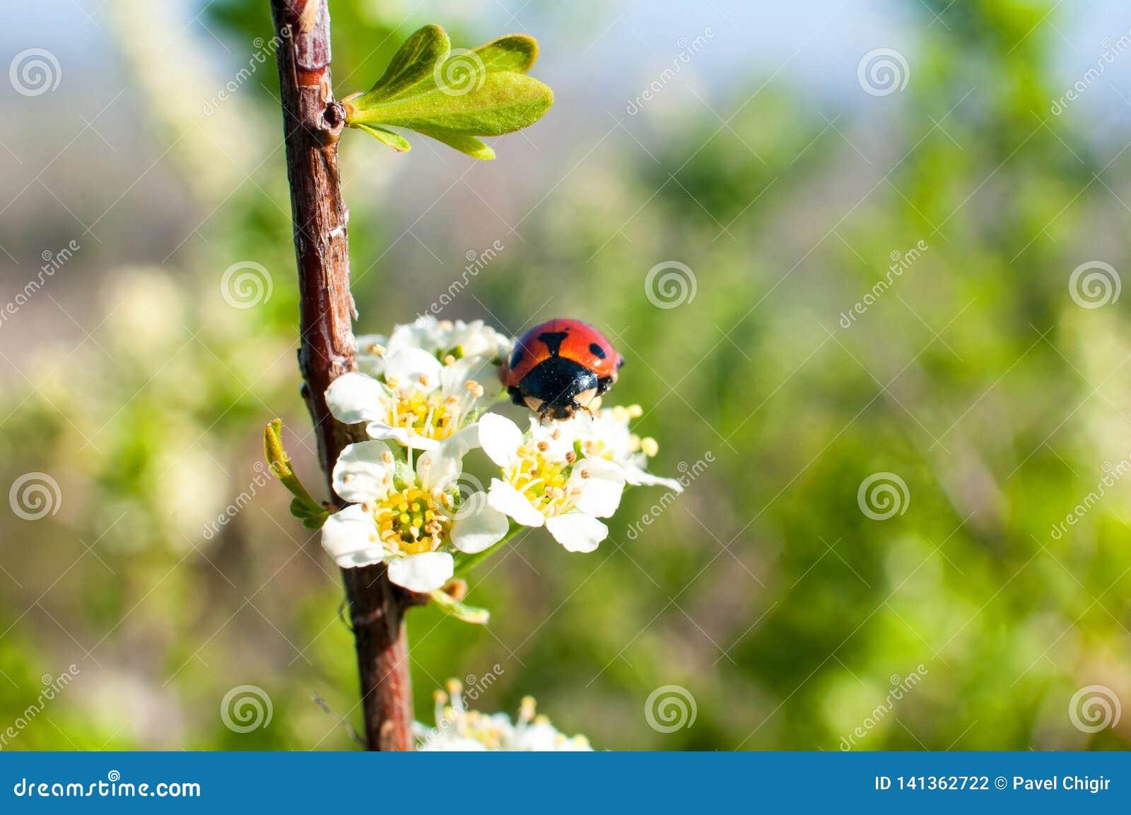 Kever - Onzelieveheersbeestje op de witte de lentebloem
