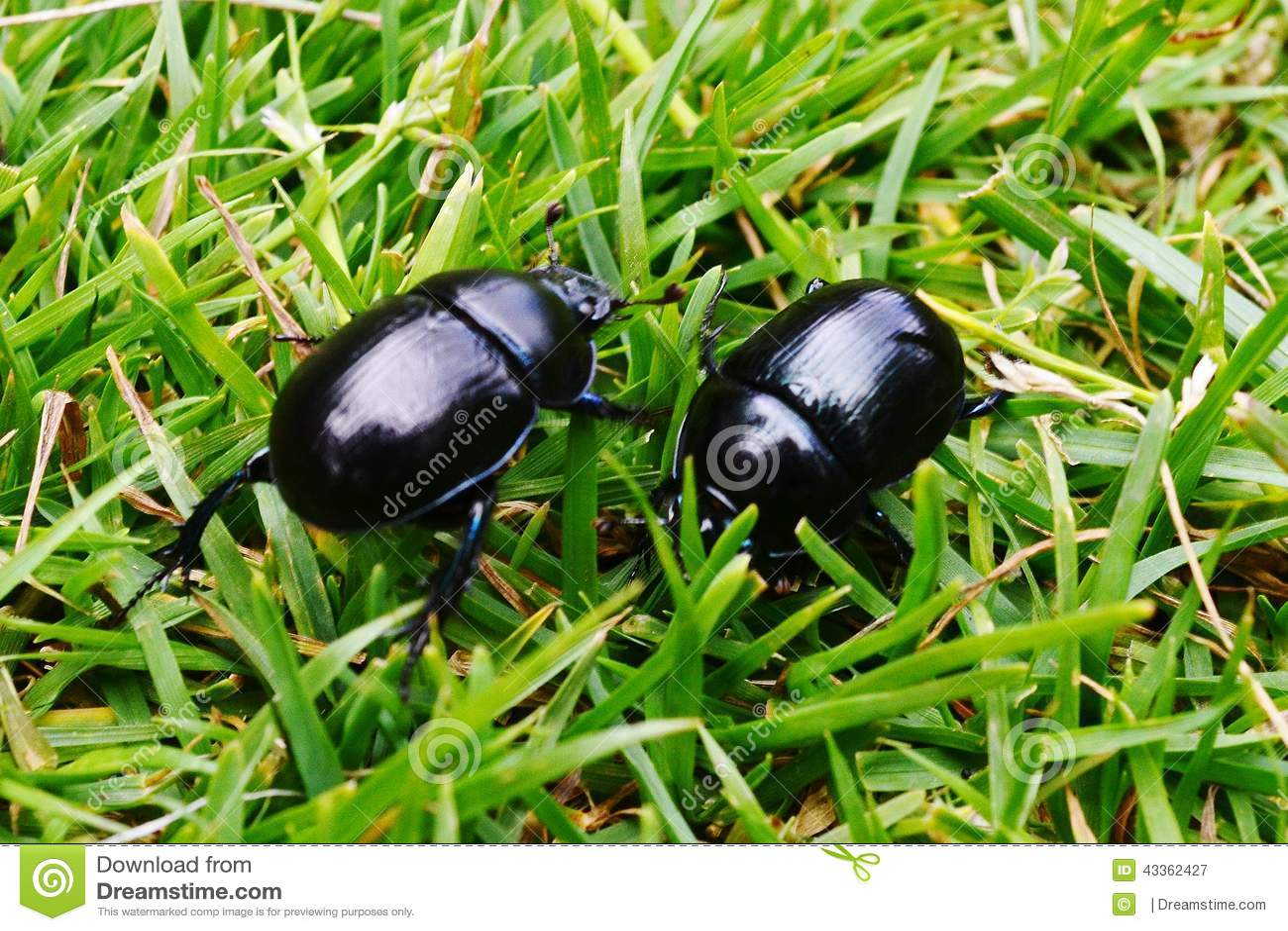 Kevers in het Gras