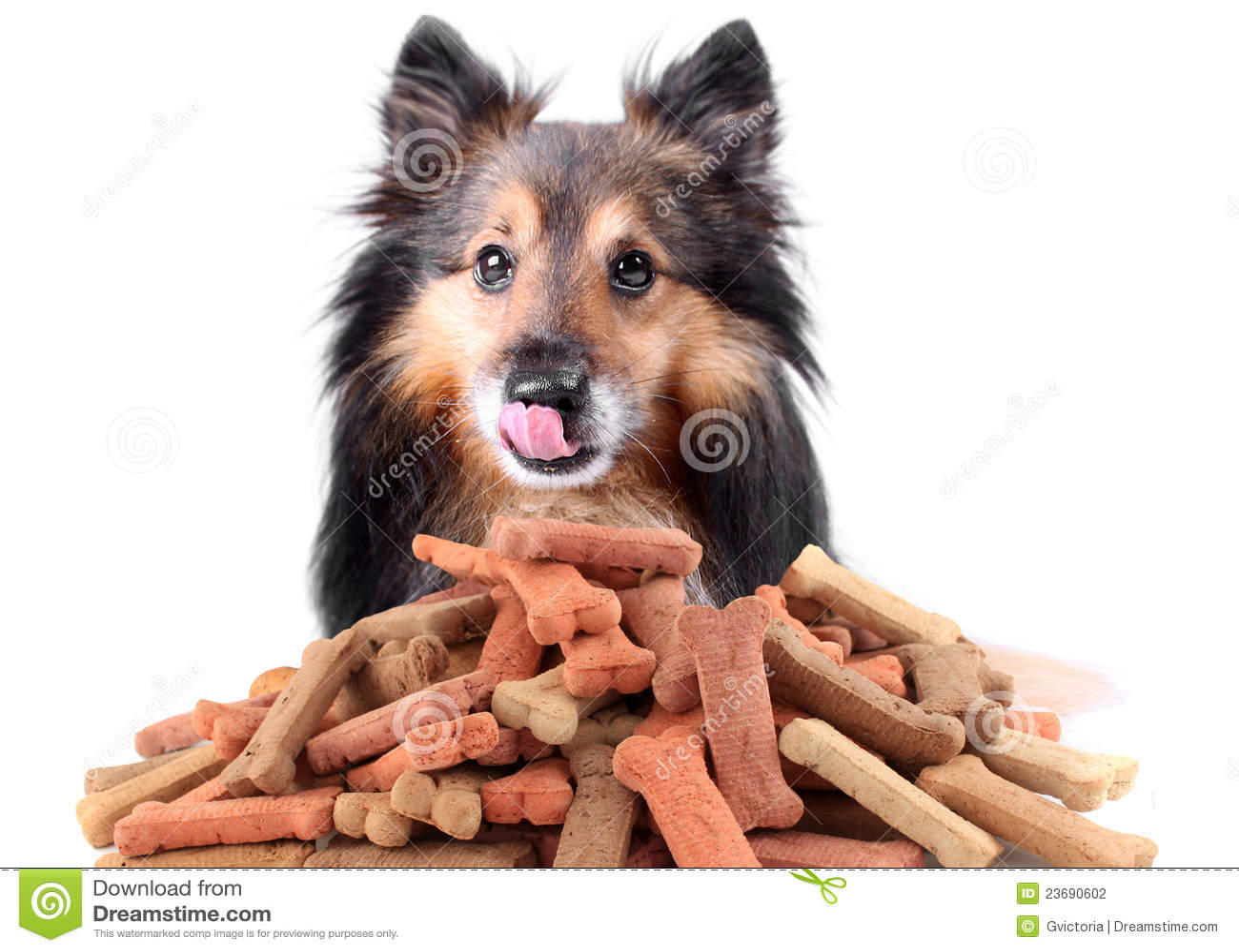 Kexhundsheltie