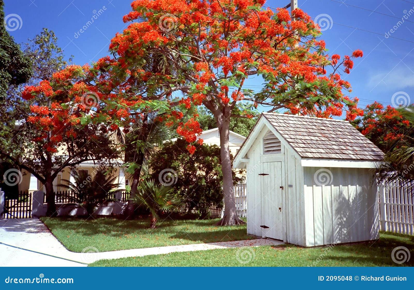 Key West Jacarandatree Stock Photo Image Of Blue Lawn 2095048