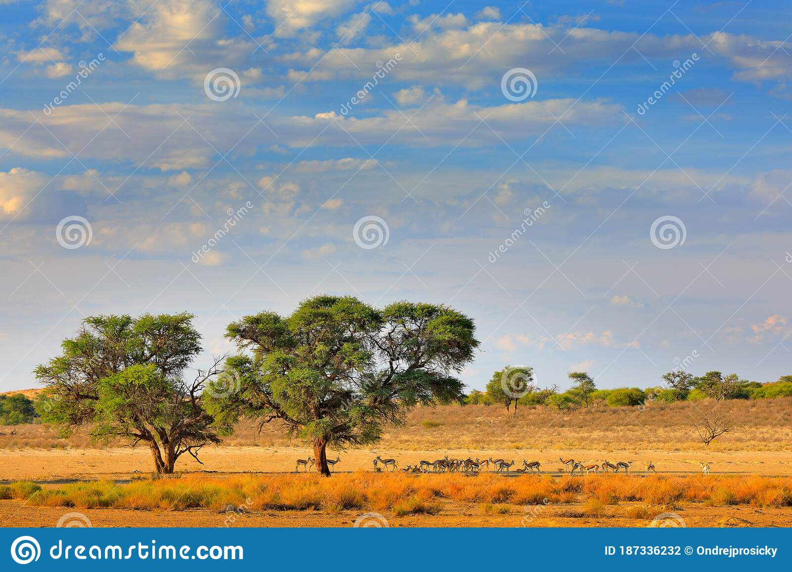 Kgalagadi Landscape, Animals And Trees Near The Water Hole ...