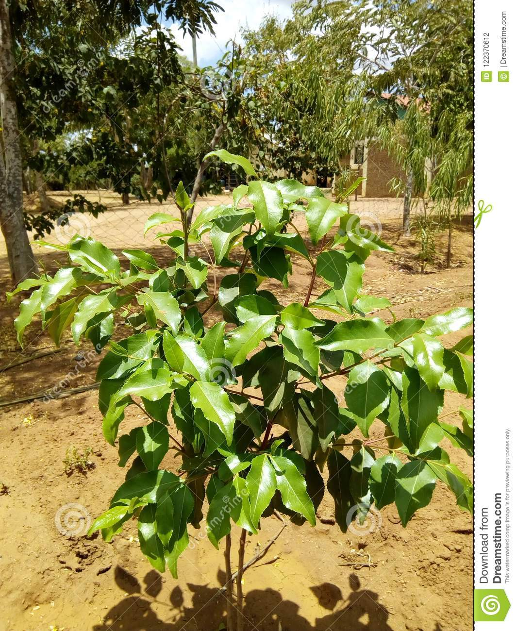 Khat stock photo  Image of khat, homestead, plant, crop