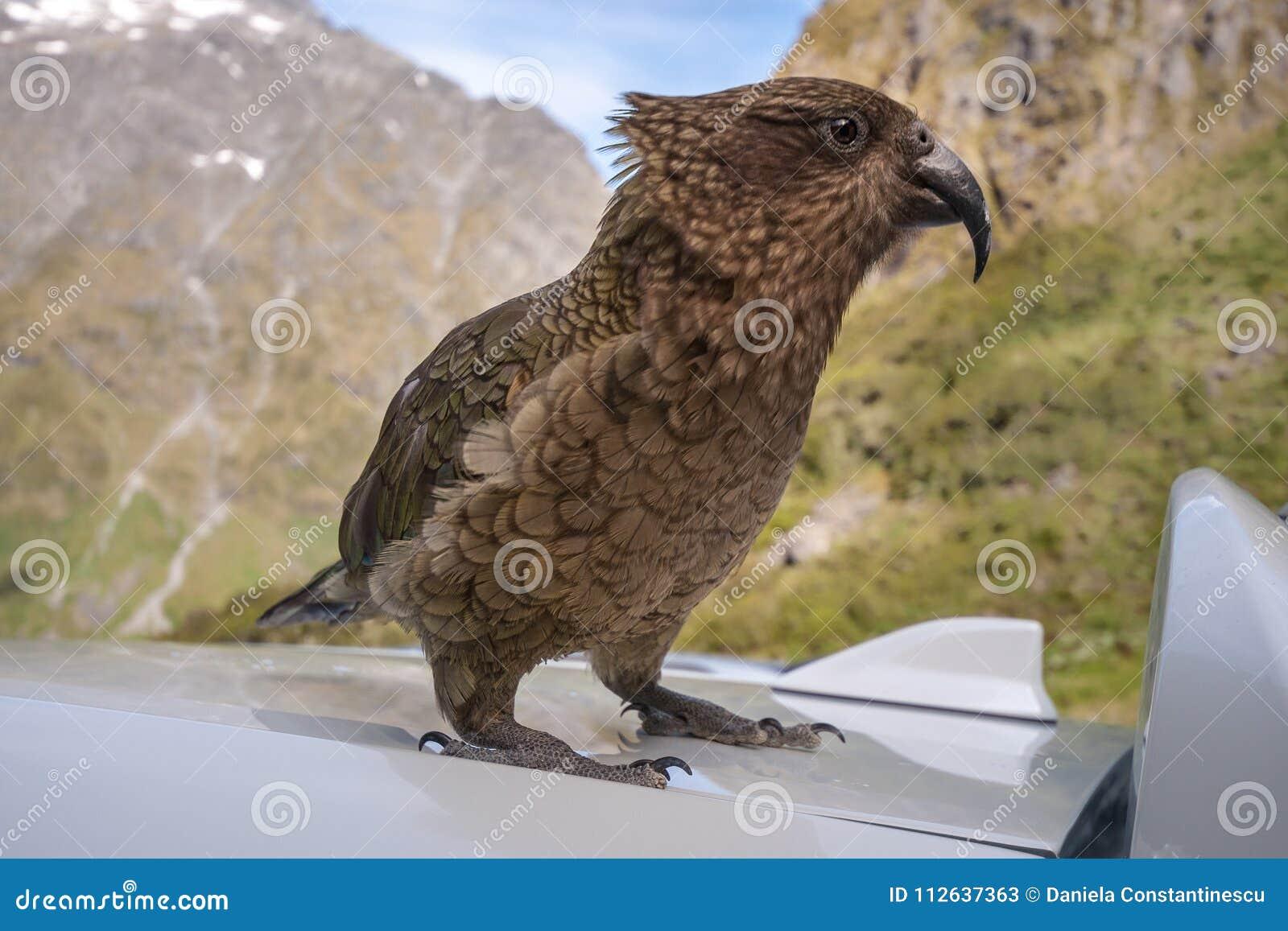 Kia - papagaio nativo novo do ` s de Zealand com muita personalidade