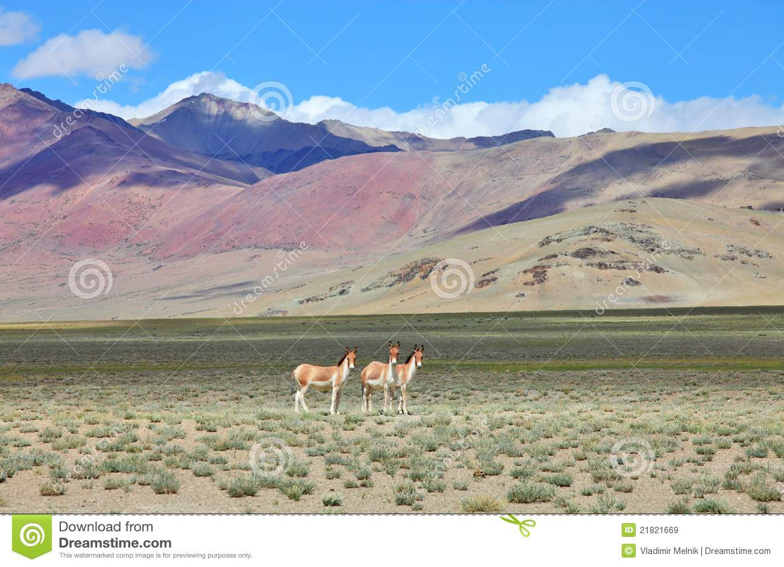 Kiang (Equus kiang)- Tibetan Wild