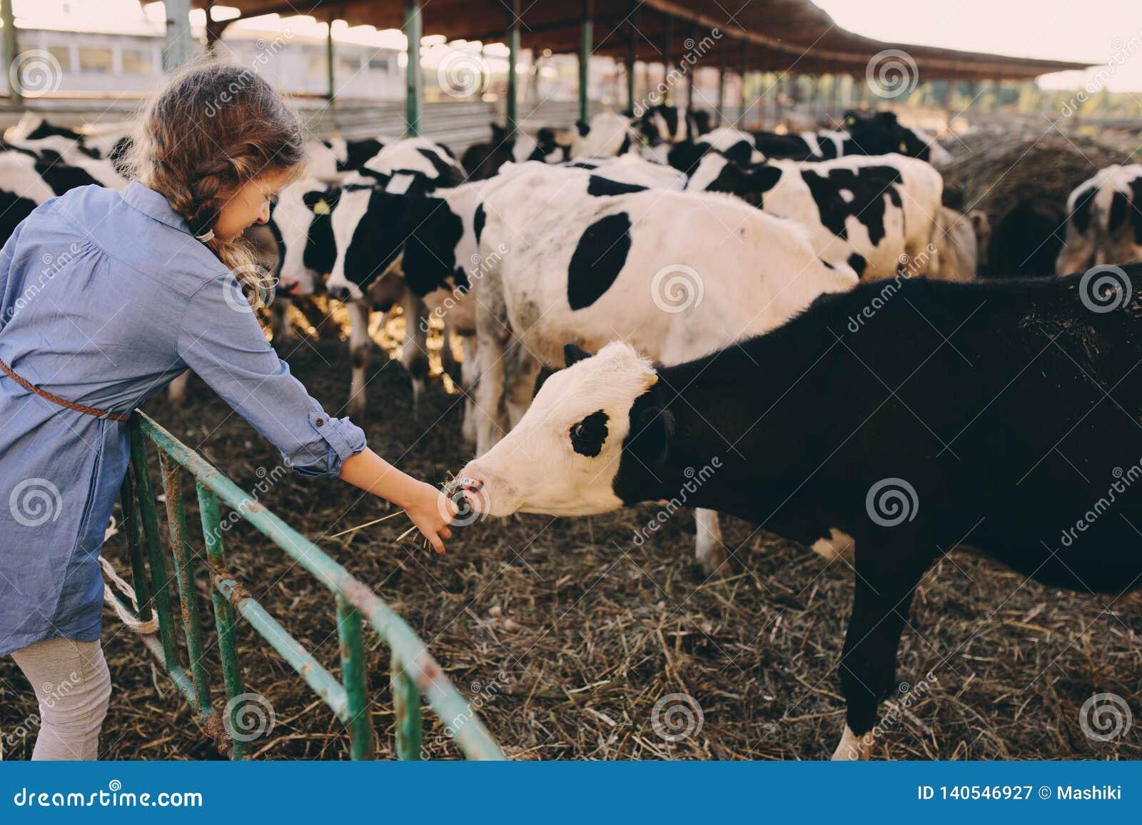Kid girl feeding calf on cow farm. Countryside, rural living