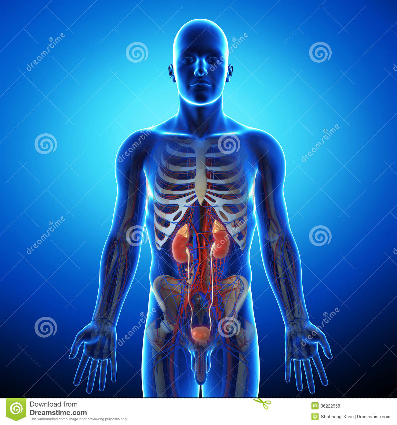 Kidney With Human Urinary System Stock Illustration Illustration