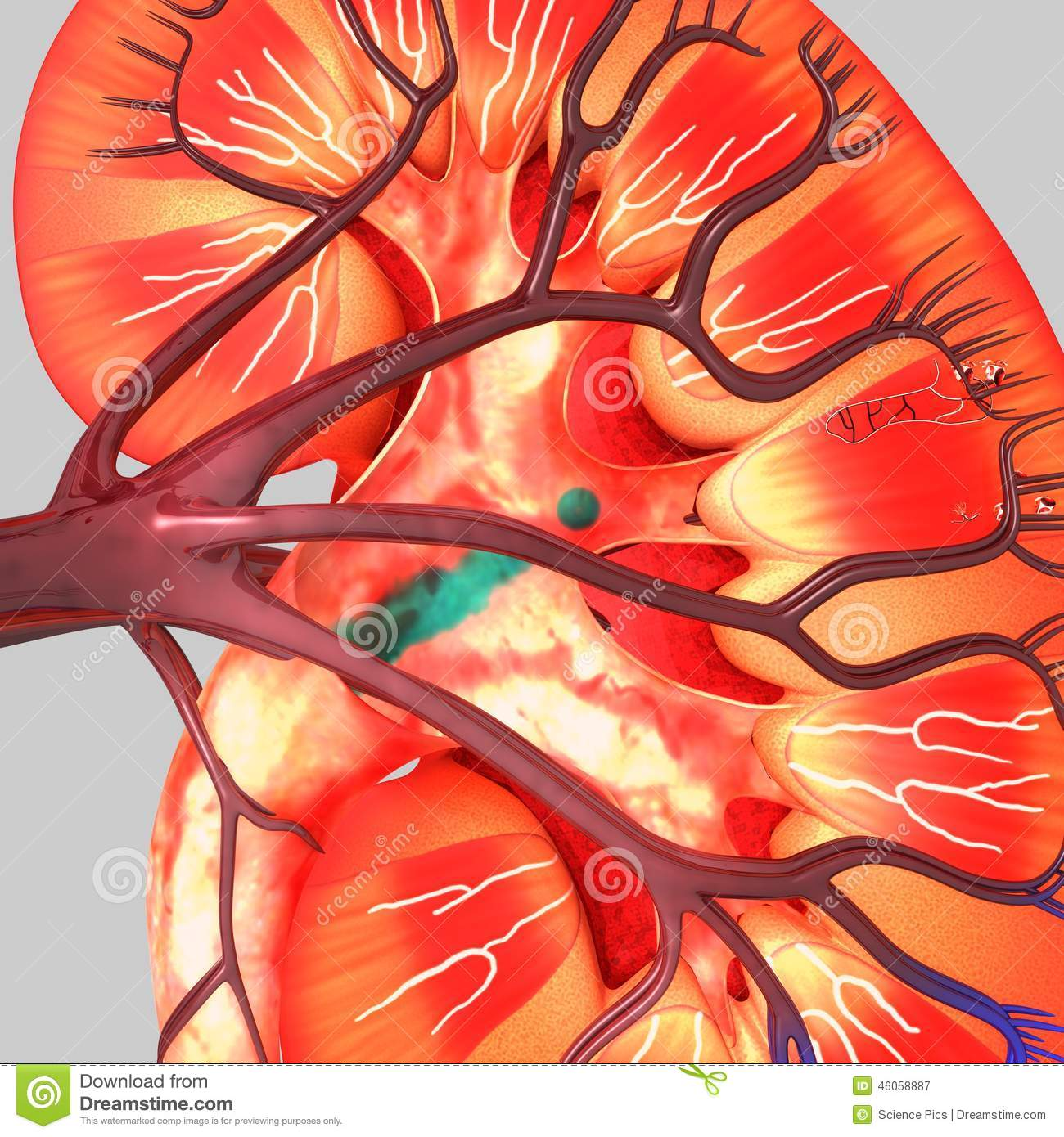 Kidney Stock Illustration Illustration Of Design Anatomy