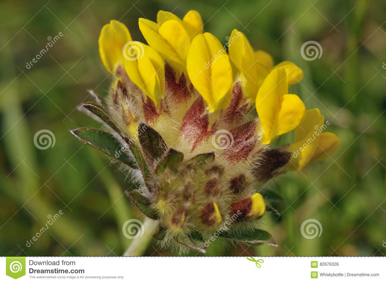Kidney vetch stock photo image of vulneraria plant 82676326 kidney vetch anthyllis vulneraria yellow grassland flower mightylinksfo