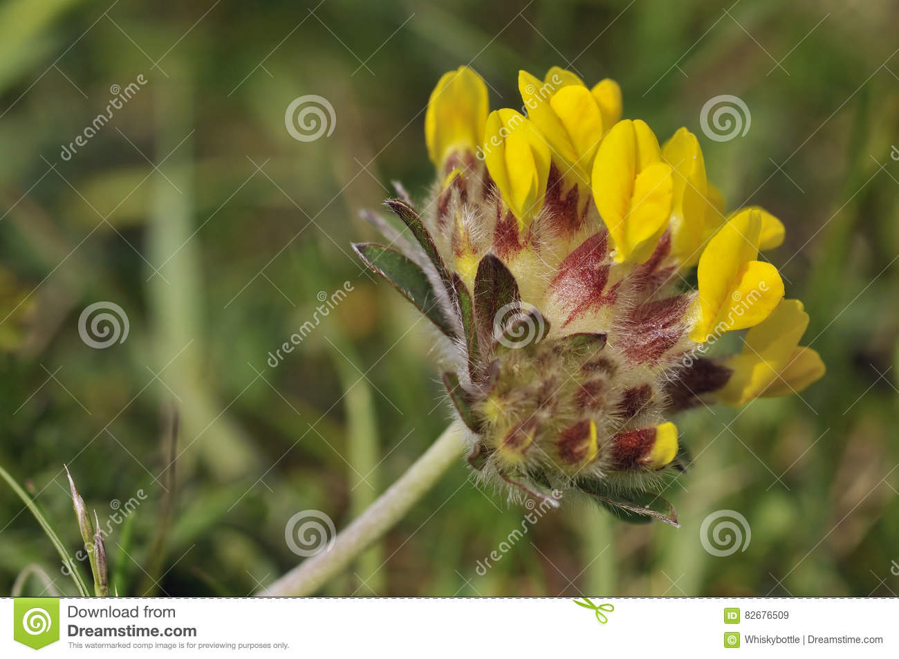 Kidney vetch stock image image of flower wildflower 82676509 kidney vetch anthyllis vulneraria yellow grassland flower mightylinksfo