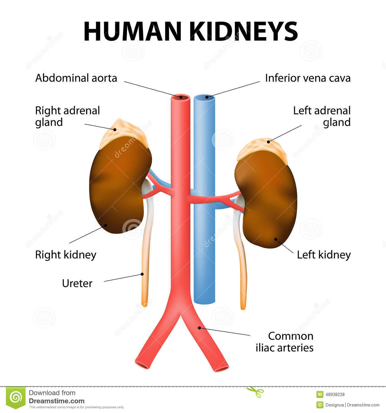 Kidneys, Adrenal Glands, Aorta And Vena Cava. Human Anatomy Stock ...
