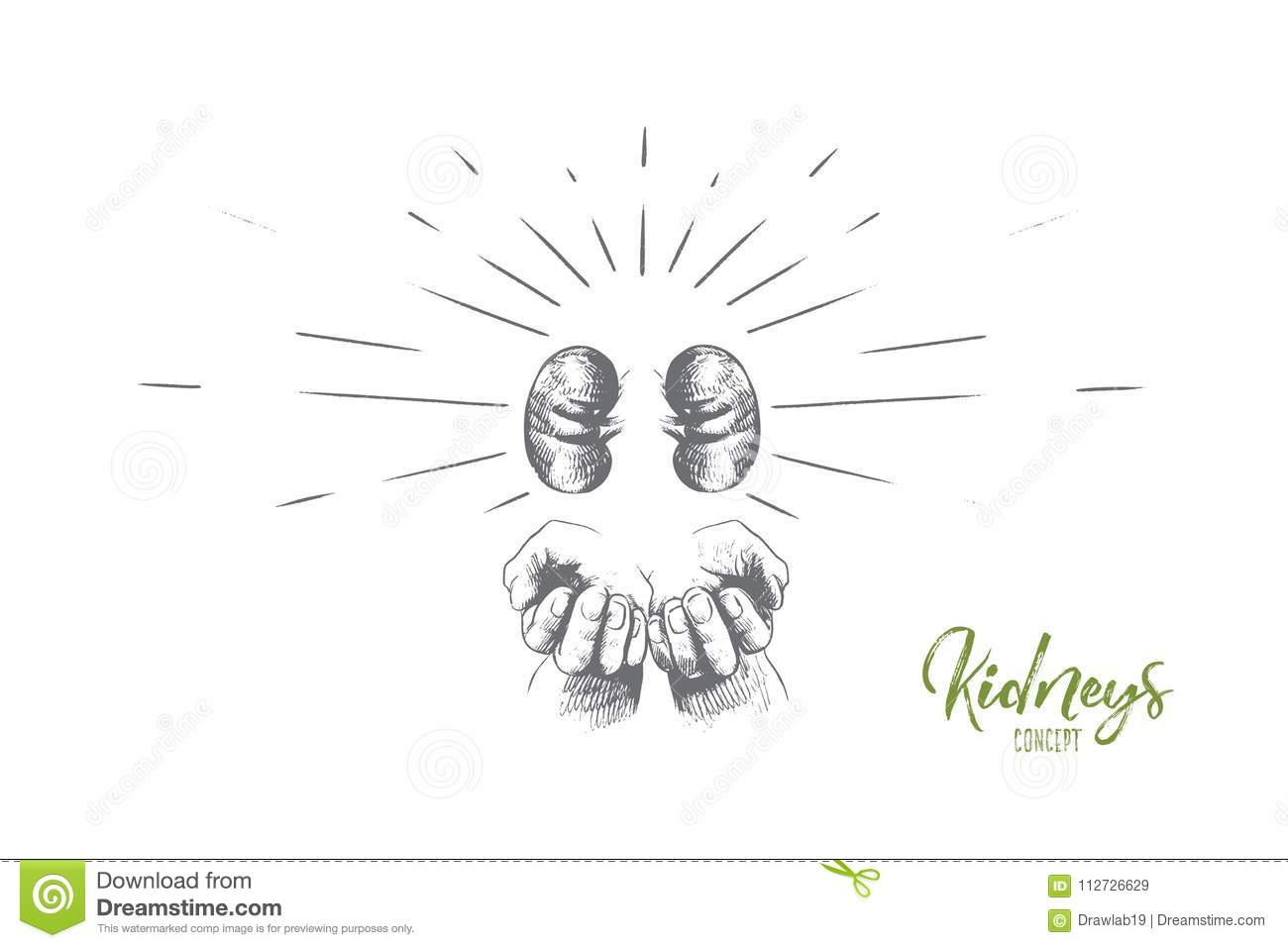 Kidneys Concept. Hand Drawn Isolated Vector. Stock Vector ...