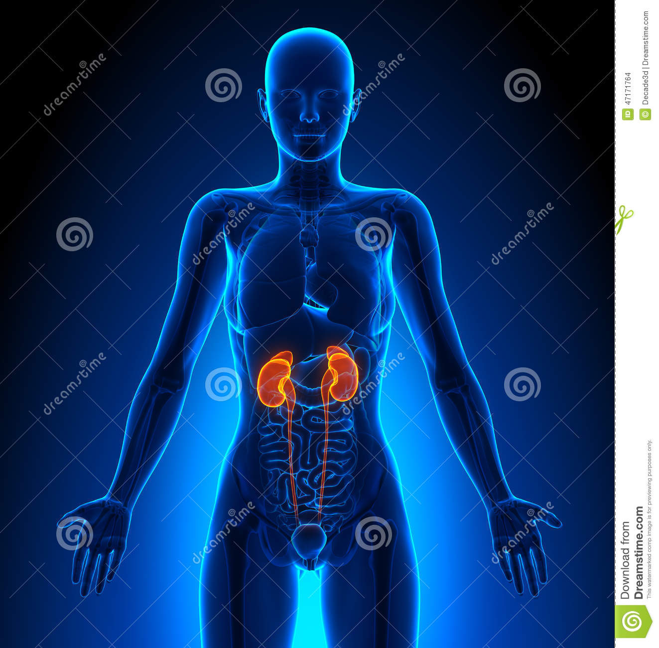 Kidneys Female Organs Human Anatomy Stock Illustration