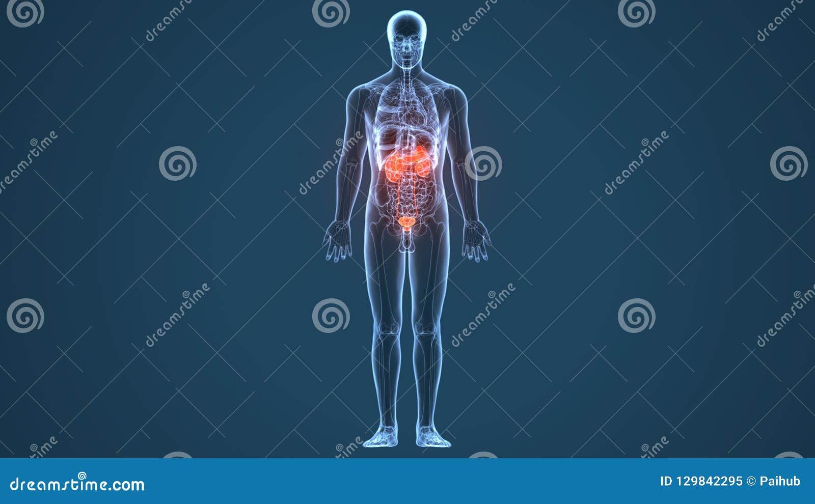 3d Illustration Of Human Body Kidneys Anatomy Stock Illustration