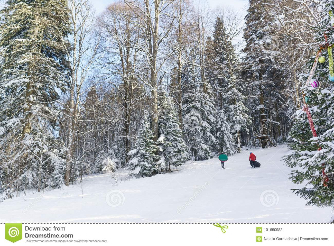 7932a61c9269d7 Children and adults ride on a snowy hill. Sunny winter day in the mountain  coniferous