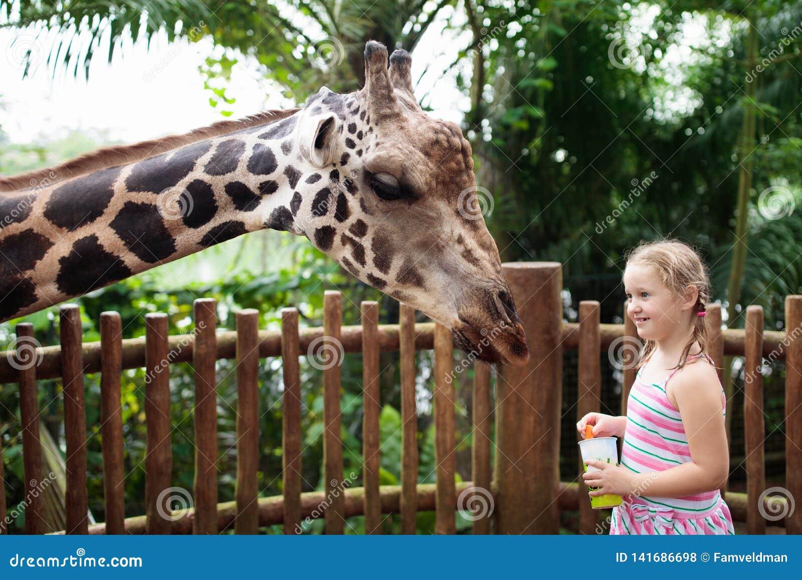 Kids feed giraffe at zoo. Children at safari park